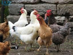 galinha caipira patos pintinhos aves pouso alto sao lourenço ver