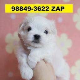 Canil Pet Líder Cães Filhotes BH Maltês Poodle Shihtzu Yorkshire Lhasa Beagle Basset