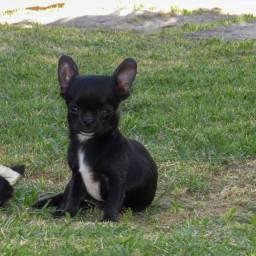 Filhote de Chihuahua Macho