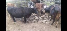 Vacas leiteiras!