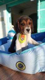 lindo beagle machinho disponivel