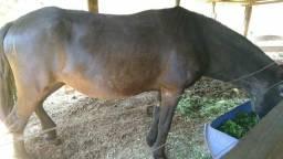 Égua doadora mangalarga marchador