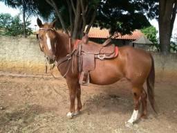 Vendo égua pent horse e sela Americana
