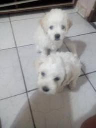 Poodles macho