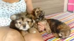 Yok com poodle