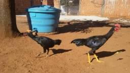 Vendo frango e franga cartola