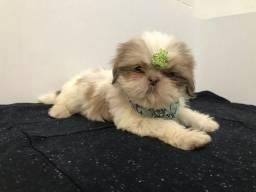 Shih Tzu Macho de de Olhos Verdes é aqui na Snow Dog Crystal