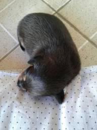 Filhote de cachorro pinscher número 1