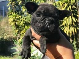 Bulldogue Frances Macho perfeito