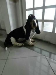 Filhote de Basset com Beagle