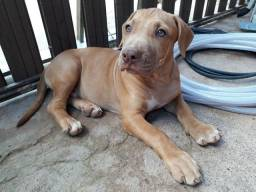 Valor do pitbull 350.00$