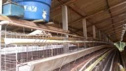 Galpão para criação avícola- Granja 22 mil aves