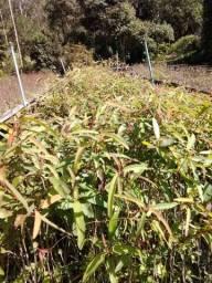 Mudas de Eucalipto Citriodora