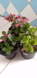 Plantas kalonchoe a flor da fortuna