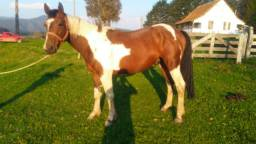Cavalo inteiro bagual tubiano xucro de 3 anos