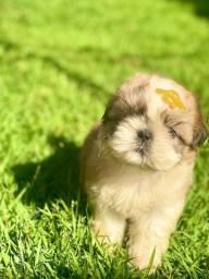 Baby de Shih tzu lindo disponível