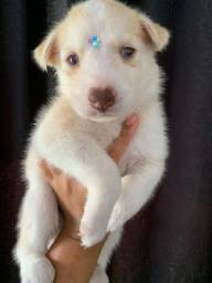 Linda fêmea de husky siberiano