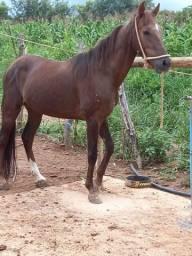 Cavalos e mulas