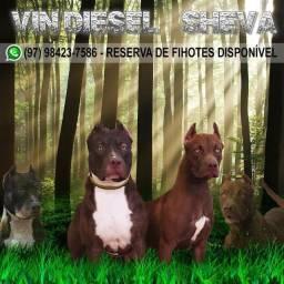 Filhotes da raça American Pitbull terrier com pedigree