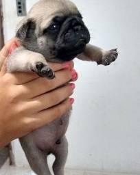 Pug macho disponível