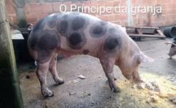 Vendo meus porcos Suínos