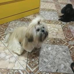 Pai Lhasa Apso mãe poodle