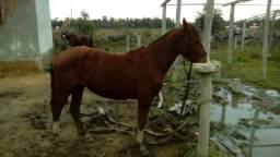Cavalo tostado novo de doma e muito manso