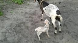 Vendo cabras e 1 bode