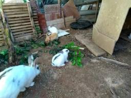 Vendo coelhos, filhote ou adulto