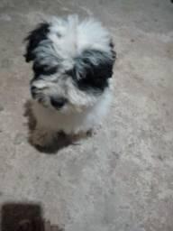 Vendo minha cachorrinha ela está com 5 meses dia 3 faz mês