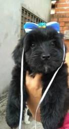 Cadela poodle
