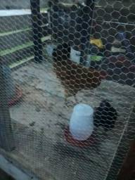 Viveiro com galinha