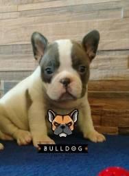 Bulldog Frances Femea Blue Pied