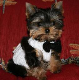 Yorkshire Terrier machos baby face e Yorkshire Biewer
