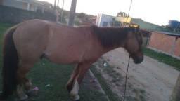 Cavalo meio sangue com manga larga e crioulo
