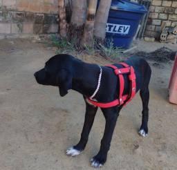Cachorra fêmea para doação