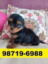 Canil Cães Perfeitos Filhotes BH Yorkshire Lhasa Maltês Shihtzu Poodle Beagle Basset