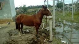 Égua crioula com resenha