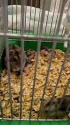 Venda de filhotes de hamster