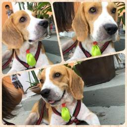 Procura-se fêmea de beagle para cruzar!