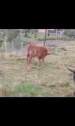 Terneiro para touro red