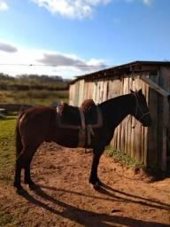 Cavalo manso e muito bom de laço