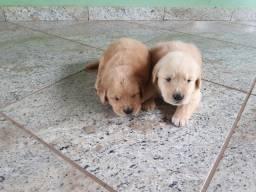 Filhotes de Golden Retriever macho