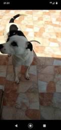 Pitbull rednose 2 anos para adoção.