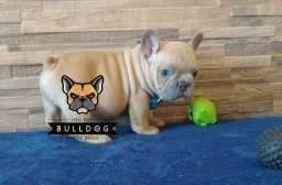 Bulldog francês Macho Blue Fawn