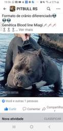 American Bully Filhotes