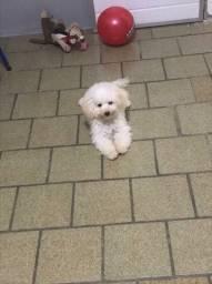 Vendo poodle toy macho