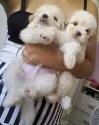 Poodle micro toy lindos e fofos