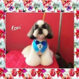 Shih-tzu com pedigree...