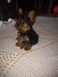 Cachorro yorkshire $ 800